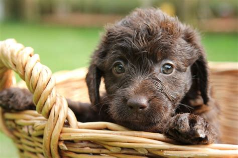 chocolate labradoodle puppies chocolate labradoodles puppy for sale chelmsford essex pets4homes