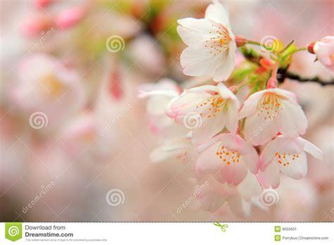 fiori di ciliegia fiori di ciliegia immagine stock immagine di nave fiore
