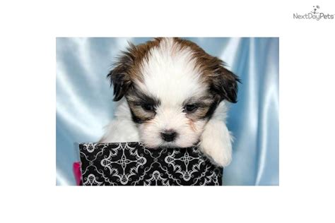 maltese shih tzu teacup the gallery for gt pomeranian maltese mix grown