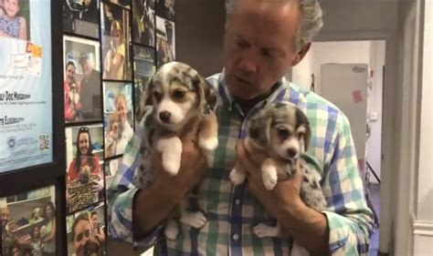 corbe puppies beagle corgi meet the corbe these puppies are just
