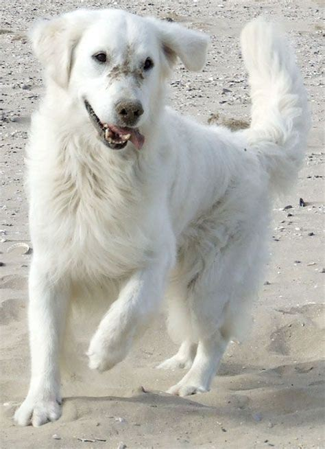 golden retriever white 32 best golden retrievers images on puppies beautiful and best
