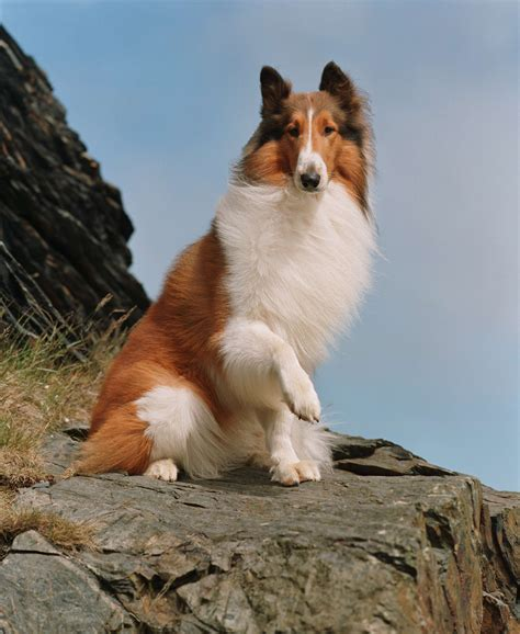 lassie puppies pets animals tv pets animals creative home