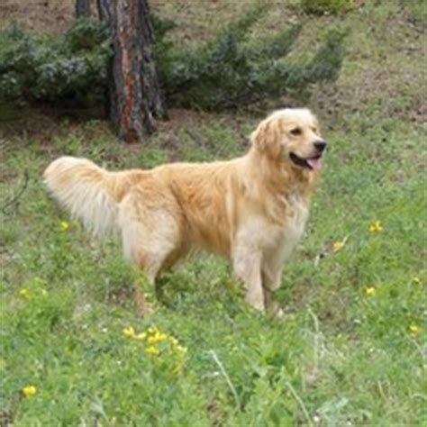 is there a miniature golden retriever miniature golden retriever puppies for sale