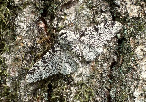 Peppered Moth butterfly conservation peppered moth