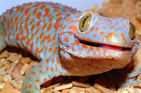 Colorful Home Decor Accessories by Tokay Geckos Are Biters Featured Creature