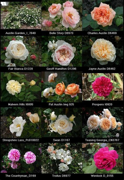 David Patio Roses by David Roses True Garden Roses Most