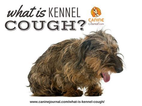 treatment for kennel cough in dogs 25 best ideas about kennel cough treatment on my is coughing cat