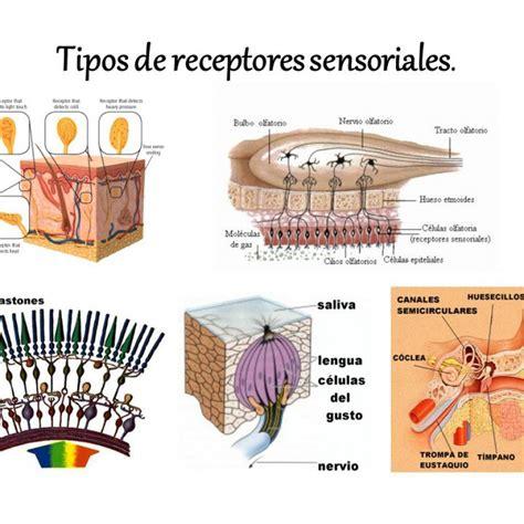 imagenes sensoriales gustativas definicion la funci 211 n de relaci 211 n los sentidos pictoeduca
