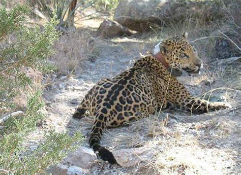 jaguar in arizona arizona jaguar s probably hastened by capture zoo