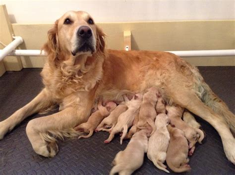 golden retriever puppies just born golden retriever puppies for sale bonsaviour retrievers