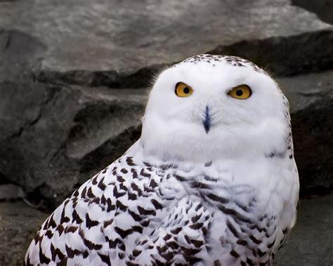file snowy owl 1 jpg wikipedia