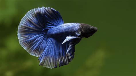 wallpaper gambar foto ikan cupang hd hewanpedia