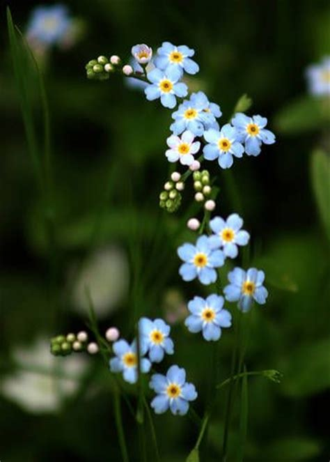 printable forget me not flowers 17 best images about forget me not on pinterest