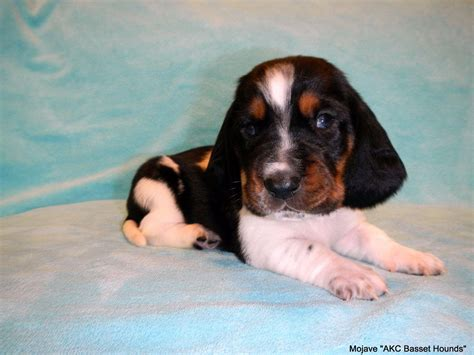 basset hound puppies for sale in louisiana basset hound puppies for sale near columbia louisiana akc marketplace
