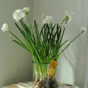 force paperwhite narcissus bulbs