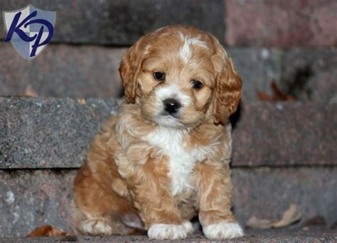cockapoo puppies for sale in free pets in pennsylvania tank cockapoo puppies for sale in pa keystone