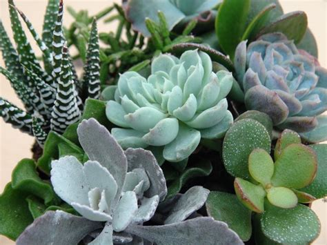 specie fiori specie di piante grasse piante grasse variet 224 di
