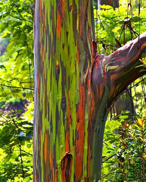 rainbow tree rainbow eucalyptus tree for sale the tree center