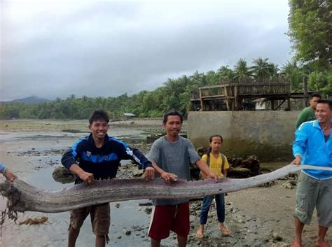 earthquake fish three oarfish found dead in the philippines spark fears