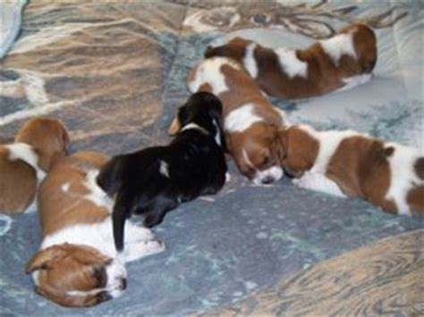 basset hound puppies for sale in michigan basset hound puppies sale