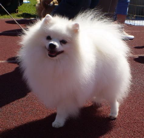 white pomeranian for sale white pomeranian size www imgkid the image kid has it