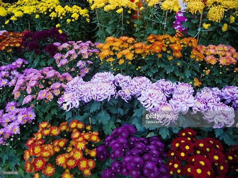 chinese new year flowers stock photo getty images