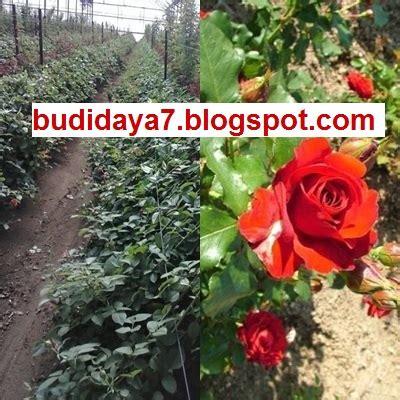usaha budidaya tanaman mawar peluang budidaya