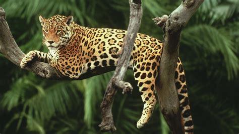 Wwf Jaguar Jaguar Artenlexikon Artenschutz Themen Wwf
