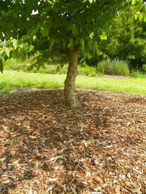 can too much mulch kill plants north carolina cooperative extension
