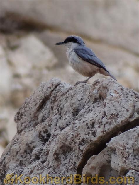 پرندگان کوخرد کمرکولی بزرگ eastern rock nuthatch