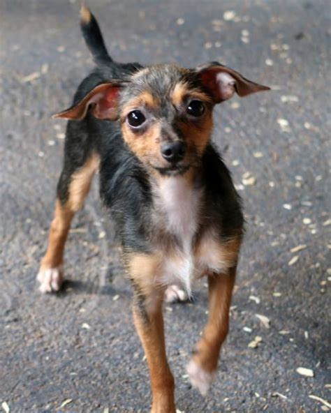 rat terrier yorkie mix s web page