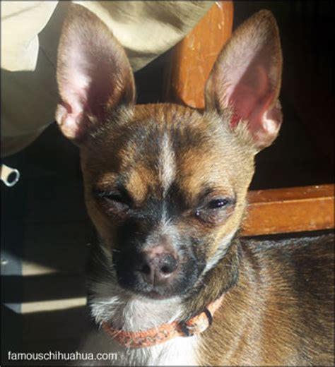 My Chihuahua Fidel Sun by Zeus The Sun Bathing Chihuahua Chihuahua