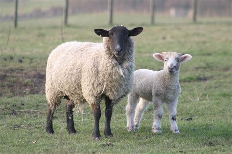 lambs and l newborn lambs central heating system could aid