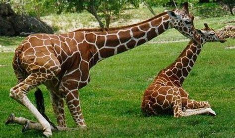 imagenes de jirafas comiendo hojas animal planet 3000 fotos de jirafas origen historia