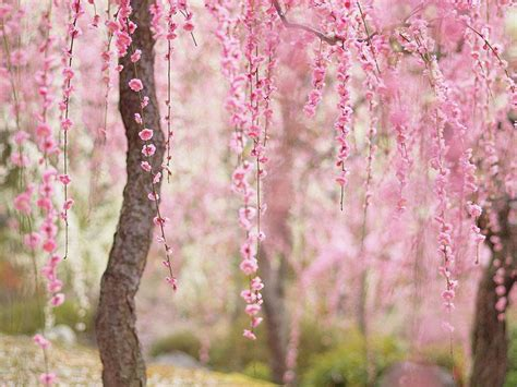 cherry blossom photos 11 of the most beautiful cherry blossom photos ever
