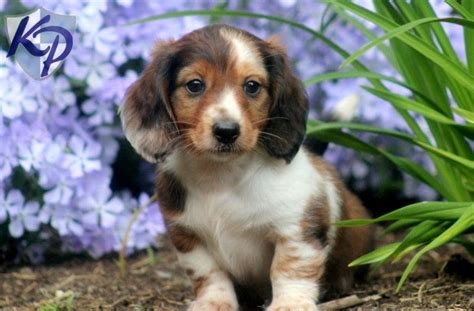 mini dachshund puppies for sale in pa 25 best ideas about dachshund puppies for sale on daschund puppies for