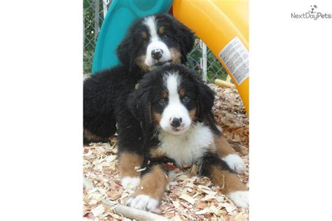 bernese mountain breeders ny bernese mt puppies upstate ny bernese mountain puppy for sale near