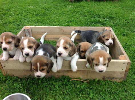 alimentazione beagle il beagle nano cani taglia media caratteristiche