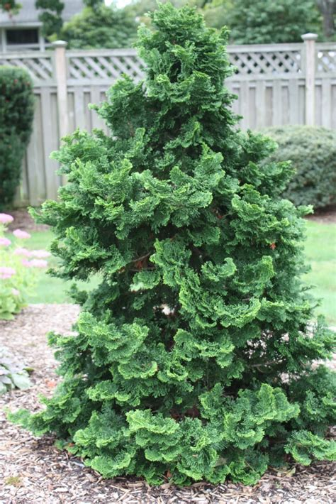 hinoki cypress plants on demand