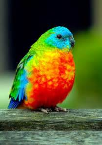 colorful parrots rainbow parakeet for the birds beautiful