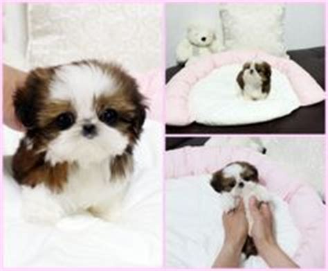 grown teacup shih tzu the world s catalog of ideas