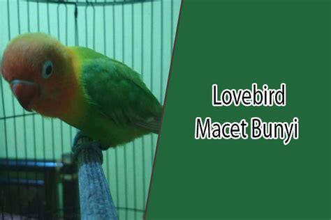 Krodong Lovebird Bukan Murai 12 penyebab dan cara mengatasi lovebird macet bunyi kicau burung