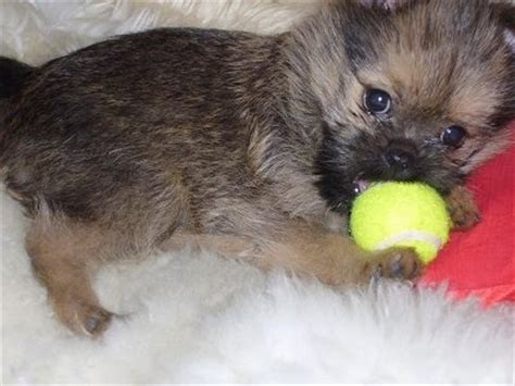 brussels griffon pomeranian mix brusselranian breed information and pictures