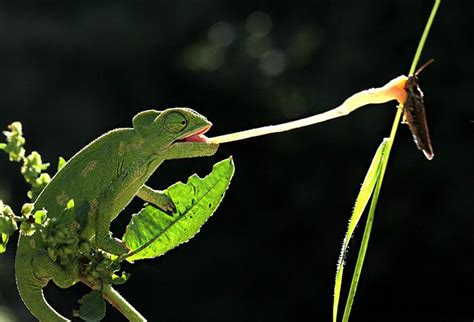 Cd Paket B Chameleons mehmet karaca chameleon with the tongue tongue the o jays photos and