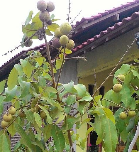 Bibit Kelengkeng Berbuah cara merawat pohon kelengkeng agar cepat berbuah lebat