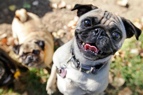 dfw pugs engaging tails pugs galore daily tagdaily tag