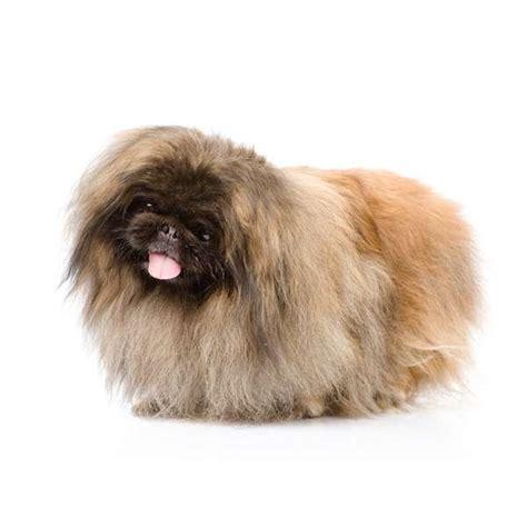 cani per appartamento cani da appartemento quale razza scegliere