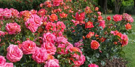 How To Care For Patio Roses by General Care And Advice
