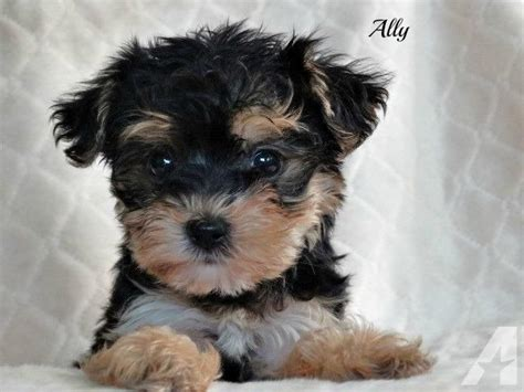 yorkie at 8 weeks adorable yorkie poo s 8 weeks for sale in smiths grove kentucky classified