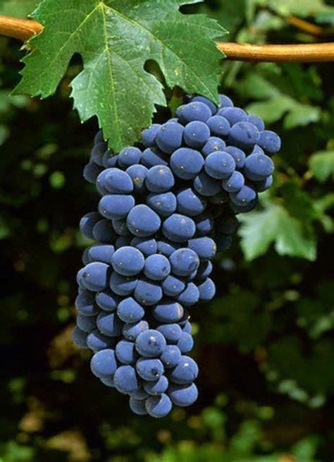tipi di uva da tavola caratteristiche dei vitigni ilvitigno it